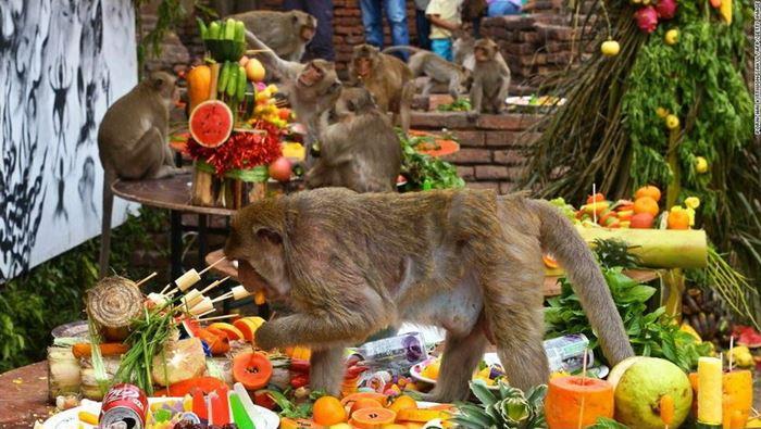Lễ hội buffet dành cho khỉ